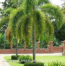 FOXTAIL PALM Wodyetia bifurcata seedling 35cm plant in 100mm pot