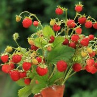 Alpine Strawberry Baron Solemacher  - Fragaria vesca - 640 seeds