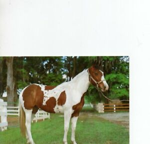 postcard: BROWN & WHITE HORSE