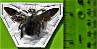 Uncommon Blue Carpenter Bee Xylocopa caerulea Male FAST FROM USA