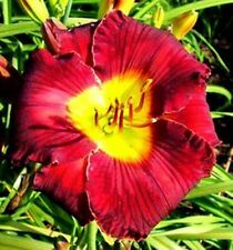 Daylily Plant Diana Grenfell Rebloom Perennial Morss Df Wine Black Purple Flower