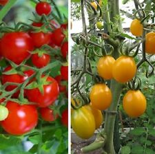 """Heirloom Red&Yellow Tommy Toes Tomato* 50+ seeds* 1/2-1"""" fruit* Prolific *70 D"""