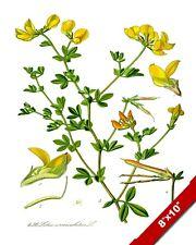 LOTUS FLOWER ILLUSTRATION WILD BIRDSFOOT TREFOIL PAINTING ART REAL CANVAS PRINT