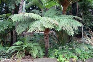 Rough Tree Fern (Cyathea australis) 500 Fresh Spores