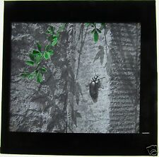 TINTED Glass Magic Lantern Slide BETTLE ON A WALL C1910
