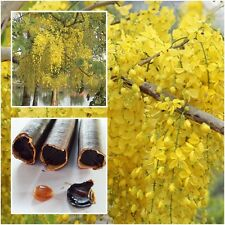 Cassia fistula 50 Seeds, Golden shower, Indian laburnum, Pudding-pine tree, Thai