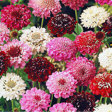 SWEET SCABIOUS - PINCUSHION GIANT MIX - 200 SEEDS - Scabiosa atropurpurea