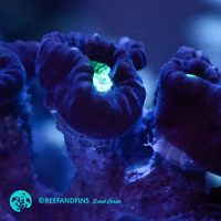 Live Purple and Green Trumpet Candy Cane LPS Coral Frag (Saltwater)