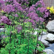 Thalictrum Black Stockings AGM Butterfly Woodland Shade plant Giant Meadow Rue