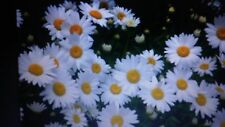 Daisy, SHASTA, PERENNIAL, white flower, 1 ounce - thousands of seeds.