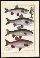 Antique Fish Print-DACE-BITTERLING-ROACH-IDE-ORFE-Bonnaterre-1788