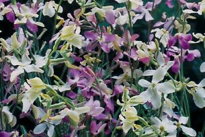 Wild Garden Seeds. Night scented Stock Mixed. INC FREE SEED OFFER - see desc