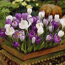 100 Crocus Mixed Assorted Colour Garden Bulbs Top Quality Spring Flowering