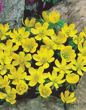 20 x  ERANTHIS HYEMALIS BULBS size 5  (WINTER ACONITE ) RHS AWARD GARDEN MERIT