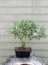 Ilex Schilling Bonsai Tree Flowers #72