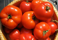 Ace 55 tomato - A Crack, Bruising and Bursting Resistant Tomato - 10 Seeds