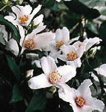 Sweet Mock Orange flowering shrub seedling  white flowers   LIVE PLANT