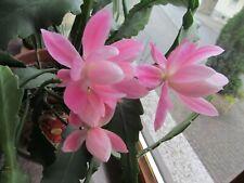 """Epiphyllum Blattkaktus """" Deutsche Kaiserin"""" 3 Stecklinge, unbewurzelt."""