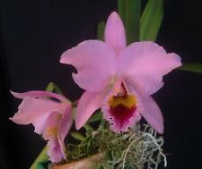 Cattleya Species-Cerro Verde-Cattleya percivaliana('El Diablo' x 'Cv')# 6-5