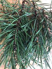 1/4 Pound Fresh Scotch Pine Needles