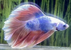 Male Pink Blue Marble Rosetail Betta