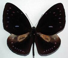 EUPLOEA LEUCOSTICTOS SSP - unmounted butterfly