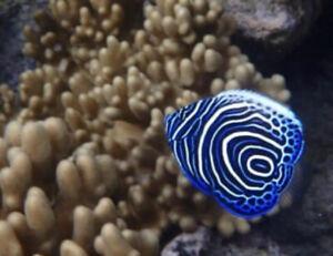 Juv Imperator Angel*FREE SHIPPING* Live Saltwater reef Aquarium! FISH/REEF/CORAL