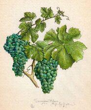 SAUVIGNON BLANC wine grapes handworked giclee art print