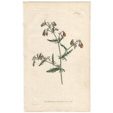 Curtis Botanical Mag. antique 1796 hand-color engraving Pl 353 Mahernia