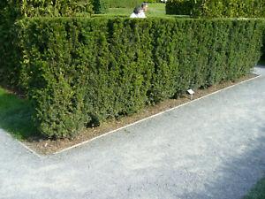 Eibe 1st. 50-80cm  Heckenpflanzen Wurzelware Taxus baccata Eiben