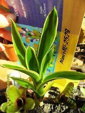 Bromeliad Aechmea gamosepala Variegated Lucky Stripe pup