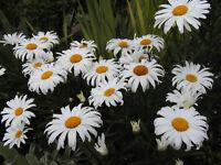 daisy, SHASTA, DWARF, perennial, white flower, 1175 SEEDS! GroCo