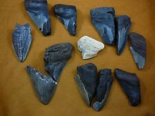 (SW11-38) TWO POUNDS Fossil Shark Tooth teeth MEGALODON partial sharks fragments