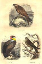 BIRDS. Kite, Vulture, Swivel 1873 old antique vintage print picture