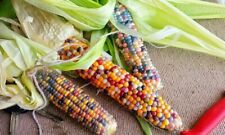 40 Corn Vegetable Seeds Mixed Glass Stone Grain Heirloom Sweet Colorful Plant