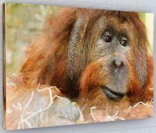 ORANGUTAN APE CANVAS PICTURE PRINT WALL ART CHUNKY FRAME LARGE 2100-2