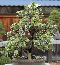 Garten Bonsai winterharte i! EFEU -BONSAI !i zur Gartengestaltung geeignet.