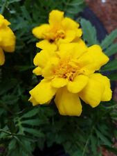 MARIGOLD - YELLOW - BRIGHT & SUNNY - 2 LIVE PLANTS! GroCo USA+