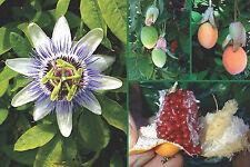 Passion Flower Seeds - BLUE -Passiflora - Rare Tropical Climbing Vine - 20 Seeds