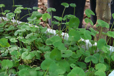 10 Bare Roots Vietnamese Pennywort, Rau má
