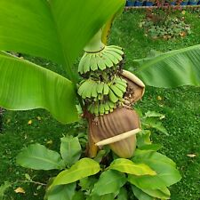 Musa Basjoo japanische Faserbanane  Die robuste winterharte Bananenpflanze