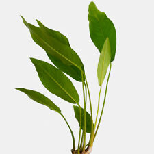 New listing 🌱� Striking Anubias Congensis Small Buy2 Get1 Free