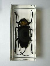 NEMOPHAS BATOCEROIDES. Real Cerambycidae polyphaga insect resin encapsulation.