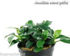 Anubias Nana Petite Full Potted Freshwater Live Aquarium Plants Barteri Bonsai