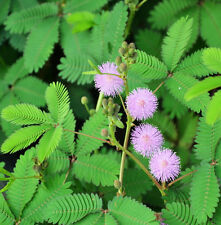 30 Mimosa Pudica Seeds Sensitive Plant Bashful Grass Organic Herbs F002