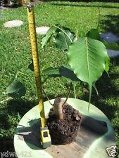 Ficus religiosa, Live Buddha Tree, Adorable rare Tropical Bonsai Ficus