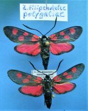 ZYGAENIDAE ZYGAENA filipendulae polygliae, 2f, ex A