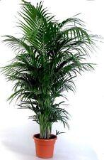 """Die schönste Zimmerpalme der Welt ! Howea Forsteriana """"Kentia Palme"""""""