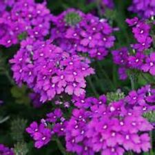 MOSS VERBENA FLOWER 100 FRESH SEEDS FREE USA SHIPPING