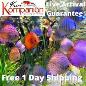 "1/2/3/5X Assorted Discus Medium 2-3"" Aquarium Koi Kompanion Free 1 Day Shipping"